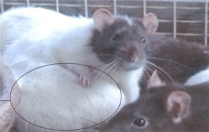 Cancer in Rats Fed with Aspartame